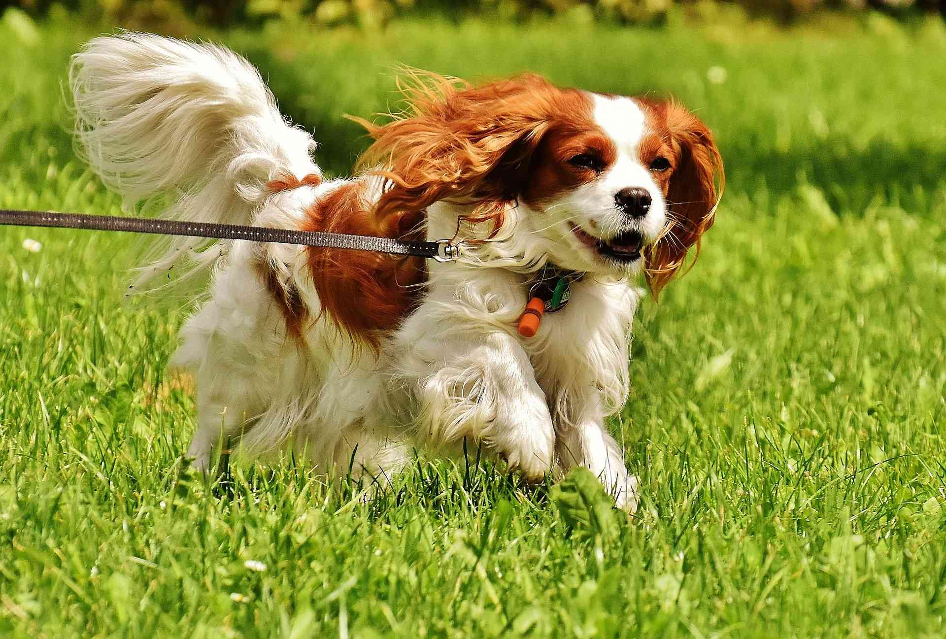 Image of: Milton Dog Tips Cavalier Corral Cavalier King Charles Spaniels Akc Breeder
