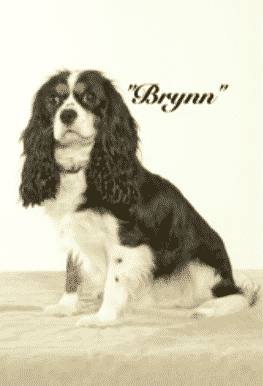 King Charles Spaniels cavalier Corral