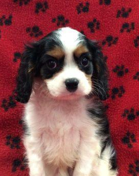 male1 side cavalier corral king charles spaniels