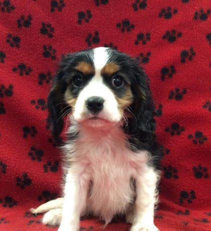 cavalier corral king charles spaniels